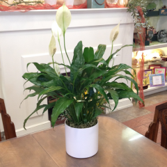 A 6in. pot diameter spathiphyllum plant in a white ceramic.