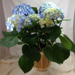 "A beautiful 6"" pot diameter Hydrangea plant.  Comes in a variety of colors!"