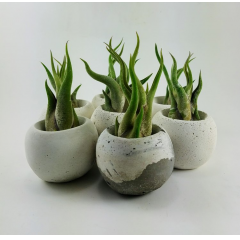 These adorable small vases are hand crafted by Tufarock Design here in Sacramento. Filled with air-Buy a trio and make a statment (available single or buy trio online, call for availability of more).  About Tufarock Design: <br>  Tufarock Design was formed in 2009 when  Joe Triglia combined his love of sculpture, design & the natural world.  Over the years  he has developed a line of unique hand crafted products that reflect that love.  Products  All products are handmade with an eye for detail & respect for the techniques & materials used in their  construction. All designs are inspired by organic shapes, textures & colors found in nature.