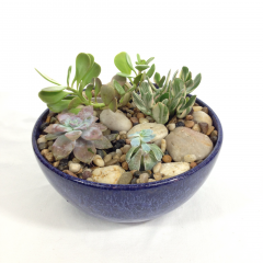 A succulent garden in a ceramic dish.  Low maintenance plants!  Plant varieties and ceramics will vary.  Call the shop with specific requests or put your requests in the special instructions field of your order.