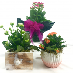 A 4in. Kalanchoe in your choice of presentation.  Decorative foil with a bow, white washed wooden drawer box or ceramic pot.  Price includes one item only.  Colors may vary.  Drought tolerant! Delivery minimum is $25, items under minimum are not eligible for delivery alone.