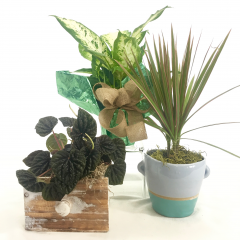"A 4in. Green Plant in your choice of presentation.  Decorative foil, wooden ""drawer"" box  or a ceramic.  Price includes one item only.  Plants may vary.  Call the shop for specific requests.  $25 minimum for delivery, must order more than one for delivery."