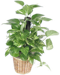 A 6in. pot size Golden Pothos.