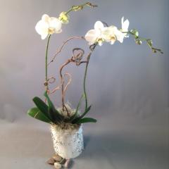 Orchid Plant in Birchbark - As Shown