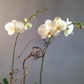 Orchid Plant in Birchbark