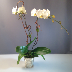 Orchid Plant Mercury - As Shown