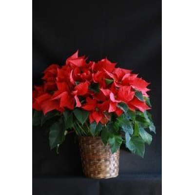 "Ninth Street Flowers Durham - A Holiday classic...nothing says ""Happy Holidays"" like one of these beautiful classic Poinsettias. A great gift for anyone to get the Christmas season off to a great start."