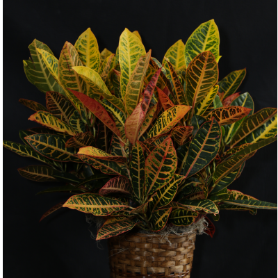 "Ninth Street Flowers Durham - A colorful tropical foliage plant in an 8"" pot and decorative basket."