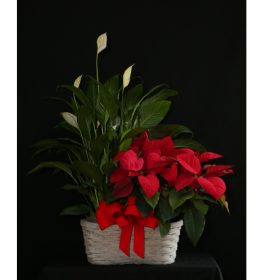 "Ninth Street Flowers Durham - Two holiday-themed plants, a Poinsettia and a Peace Lily, festively paired and displayed in a decorative basket, festooned with a big red bow. Choose from one of three sizes:  Standard size: Each plant in a 6"" pot.   Premium size: Poinsettia in a 7"" pot, Peace Lily in a 6"" pot.  WOW: Both plants in 8"" pots."