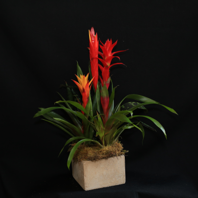 Ninth Street Flowers Durham - A tropical garden featuring a spectacular blooming bromeliad plant, in your choice of a basket or ceramic vessel, perfect for a Father's Day gift!