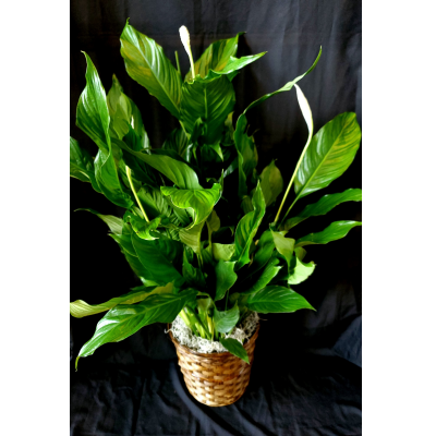 "Ninth Street Flowers Durham - Peace lily plant suitable for medium to low light. Easy care.  Available in Standard 8"" basket or Premium 10"" basket."