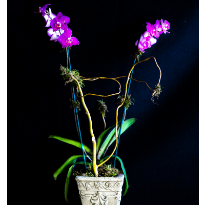 Ninth Street Flowers Durham - Simple, yet elegant and sophisticated, the Phalaenopsis Orchid garden is perfect when you want something long lasting that is both graceful and a bit exotic.