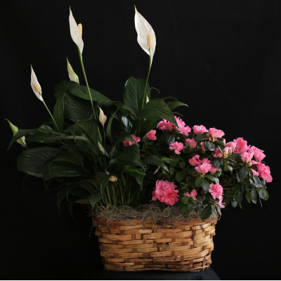 Ninth Street Flowers Durham - Lush combination of an Azalea and a Peace Lily (aka Spathiphyllum), arrayed in a spring basket; a lovely display for the home or office.