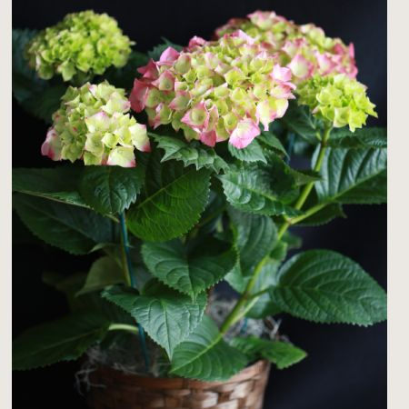 Ninth Street Flowers Durham - Big, beautiful blossoms of hydrangea are sure to be a popular gift. Blooms are beautiful to look at on arrival, and then this versatile garden favorite is easy to plant for years of enjoyment. Colors may differ from the picture shown.